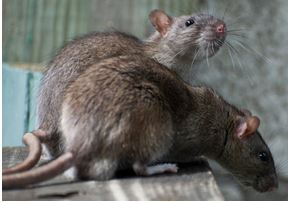 Rodent Removal West Palm Beach